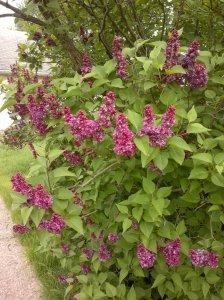 Astound Lilac