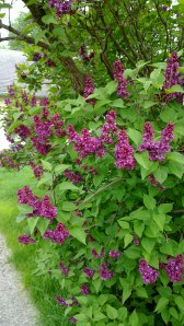 N900 Lilac